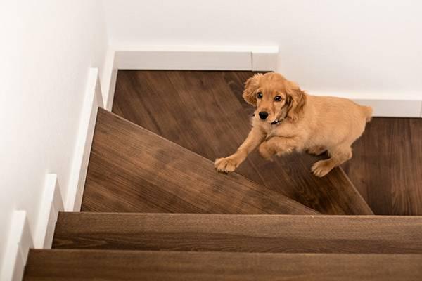 hund i trappa